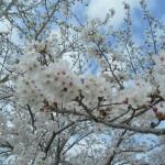 満開の桜 (2)
