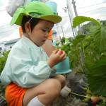イチゴ採れた♪ (2)